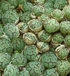Conophytum es un género con 478 especies descritas de plantas suculentas perteneciente a la familia Aizoaceae. Es originario del sur de África, donde crecen en las colinas rocosas.