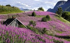 Røsslyng (Heather) is the the Norwegian national flower.