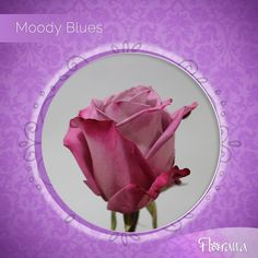 Moody Blues, our mauve rose with fuchsia guard petals is one of a kind. Visit us www. Organic Roses, Moody Blues, Mauve