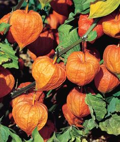 Chinese Lantern ~ Easy to grow and spread quickly ~ Great to use for fall decorating.