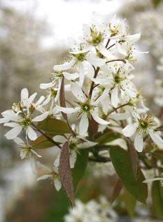 Juneberry, Serviceberry, Snowy Mespilus - Barcham Trees