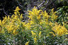 Ragweed: Canada Ontario Photos
