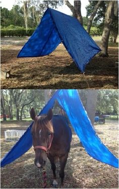Desensitizing horses: I am making Sparkles walk under a tarp to get her used to uncomfortable or awkward situations. All you need is a tarp, hay sting, and heavy blocks!