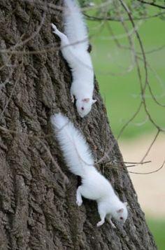 Albinismo (9)Scoiattoli