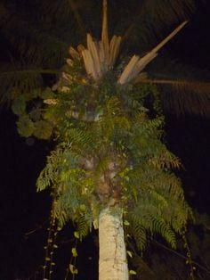 Estos helechos crecen caprichoso en lo alto de un chaguaramo (palmera muy alta). Están en la Plaza de Santa Elena de Uairén, estado Bolívar. Venezuela