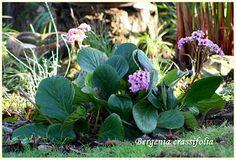 Hortensia de invierno, esta planta es muy interesante por su floración invernal bastante llamativa y por sus perennes hojas carnosas