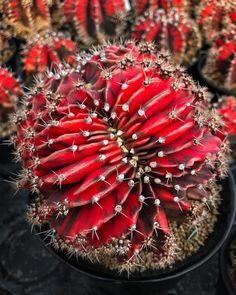 Spectacular photos of desert plants by Wachirapol Deeprom, a gifted self-taught photographer, and cactus lover currently based in Bangkok, Thailand. Small Cactus Plants, Indoor Cactus, Cacti And Succulents, Planting Succulents, Planting Flowers, Cacti Garden, Growing Succulents, Succulent Planters, Hanging Planters