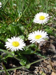 An sonnigen Standorten blühen bereits die ersten Margariten. Wir freuen uns auf die herrliche Natur, welche es im Sommer zu entdecken gibt!  www.hotelauszeit.ch www.facebook.com/hotelauszeit www.instagram.com/hotelauszeit