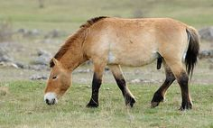 10 Things You Didn't Know About the Last Wild Horses On Earth The Przewalski's horse, native to the steppes of central Asia, is the last completely wild horse species in the world. It is also endangered. So to kick off the Year of the Horse, here are 10 cool facts about these special horses and what's being done to protect them.