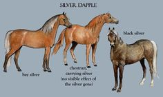 """The silver gene (ZZ, Zz) will typically dilute a black mane and tail to flaxen, and a black body to a shade of brown or chocolate. It is responsible for a group of coat colors in horses called """"silver dapple"""" in the west, or """"taffy"""" in Australia. The most common colors in this category are black silver and bay silver, referring to the respective underlying coat color. Chestnuts can carry the gene without showing it. Morgan Colors- Silver Dapple Morgan Horses"""