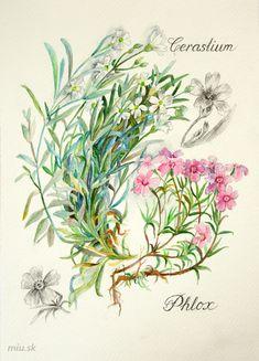 Cerastium, Phlox - Rožec, Flox - akvarel a ceruzka – miu.sk