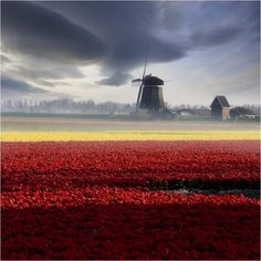 The tulip and windmill, Netherlands