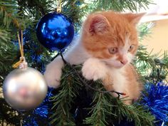 For the last 2 years I have been lucky to have a new kitten around October meaning he/she is in its cute kitten stage for Christmas ^^ This year will be the similar as my cat's kitten will 4-5 months around Christmas <3 Can't I just get a new kitty every Christmas? Please?