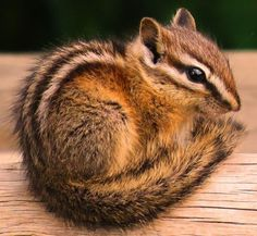 Chipmunk Picture (get rid of chipmunks) Animals And Pets, Baby Animals, Cute Animals, Lovely Creatures, Woodland Creatures, Get Rid Of Chipmunks, Baby Chipmunk, Chipmunk Trap, Eastern Chipmunk
