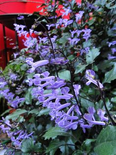 Plectranthus 'Mona Lavender'. Ideal for shaded and semi shaded spots with a neat habit, this easy care shrub will grow to to 80cm and flower from Summer into Autumn.
