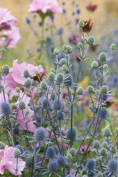 outdoor flowers Eryngium planum 'Blaukappe' and pink Hollyhock mallow (Malva alcea 'Fastigiata'), mid July. Wild Flowers, Beautiful Flowers, Garden Cottage, Prairie Garden, Hollyhock, Arte Floral, Dream Garden, Garden Planning, Garden Projects