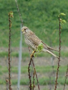 Small bird of prey helping us to clean the garden | #bird #garden #bnb #vineyards #cognac
