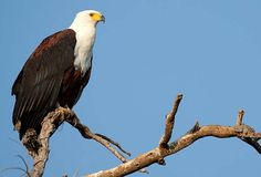 African Fish eagle. Photo: Richard Miller