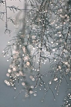 Winter charm in gray and dainty glistening iced branches dangling. Kind of maudlin and yet brings a smile because I think of Christmas.