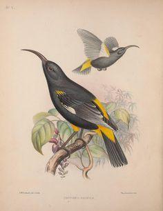 "https://flic.kr/p/dU3bSA   n47_w1150   Aves Hawaiienses :. London :R.H. Porter,1890-1899.. <a href=""http://biodiversitylibrary.org/page/41338468"" rel=""nofollow"">biodiversitylibrary.org/page/41338468</a>"