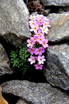 rock garden, use sedum and other flowering drought tolerant plants for a pop of color. - Garden Tips and Tricks Alpine Garden, Alpine Plants, Alpine Flowers, Garden Landscape Design, Garden Landscaping, Landscaping Design, Rockery Garden, Garden Planters, Wild Flowers