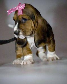 Basset hound puppy pretty in pink