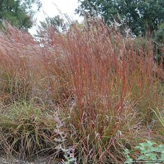 This attractive grass produces purplish plumes with grey/green foliage. Little Bluestem can be planted for erosion control and will attract wildlife. Perennial.  (Schizachyrium scoparium)