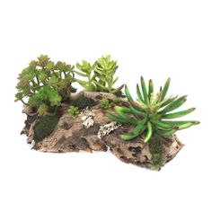 Koyal Wholesale Burl Decorative Natural Grapewood Branch & Reviews | Wayfair