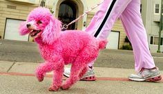 Pink toy poodle - one day I will have one (again) Poodle Grooming, Pet Shampoo, Pink Poodle, Angry Cat, Hair Chalk, I Believe In Pink, Pink Dog, Pet Life, Pink Summer
