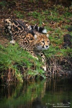 Spotted Animals, Cat Reference, Serval, Paws And Claws, Cool Sports Cars, Cheetahs, Leopards, Cute Baby Animals, Big Cats