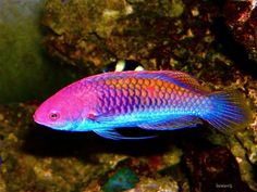 A Rainbow Fairy Wrasse using a Sony P/S, halide lighting and flash, one of my older wrasse's in the tank. Saltwater Aquarium Fish, Saltwater Tank, Freshwater Aquarium, Colorful Fish, Tropical Fish, Rainbow Fairies, Beautiful Sea Creatures, Salt Water Fish, Underwater Creatures