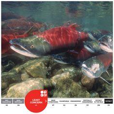Gates Creek Sockeye Salmon - IUCN Conservation status: (LC) Least Concern Salmon Run, Sockeye Salmon, Conservation, Alaska, Cute Animals, Fish, Extinct, Gates, Underwater