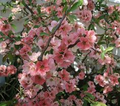 Chaenomeles speciosa 'Toyo Nishiki' has a gorgeous combinations of white, pink and red in every blossom.