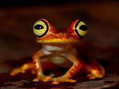 """This colorful little treefrog is Hypsiboas picturatus, or the Imbabura Treefrog. It's usually found along streams in closed-canopy forests and can be locally abundant, however generally uncommon."" - http://www.thefeaturedcreature.com/2011/01/my-what-big-eyes-you-have-imbabura.html"