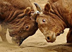 Bulls wrestle during the opening day of the bull fighting festival at Cheongdo, South Korea...