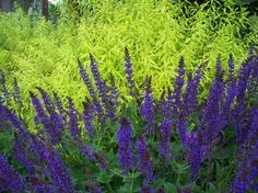 May Night Salvia and Ogon Spirea - Dear Garden Associates, Inc. Modern Landscaping, Outdoor Landscaping, Landscaping Ideas, Garden Shrubs, Flowering Shrubs, Purple Garden, Colorful Garden, May Night Salvia, Xeriscaping