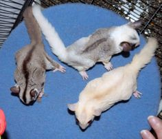 Dollop, Daisy and Tasha, our trio of sugar gliders, playing on their treadmill… Sugar Glider Baby, Sugar Gliders, Baby Skunks, Baby Bunnies, Cute Australian Animals, Dog Breeds Chart, Pet Clothes, Dog Clothing, Sugar Bears