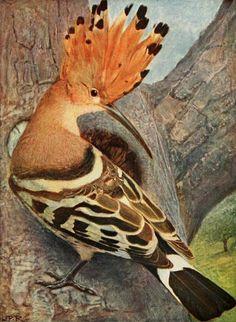 La Huppe (The Hoopoe). Illustration by Leo Paul Robert from 'Les Oiseaux dans la Nature' by Eugene Rambert. Published 1916 by Delachaux &am...