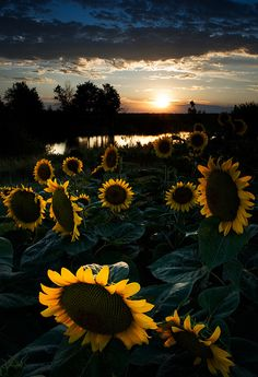 Pixdaus: God Gave Us Pics!(via yangoku) Sunflower Pictures, Sunflower Art, Sunflower Fields, Sunflower Iphone Wallpaper, Flower Phone Wallpaper, Wallpaper Backgrounds, Happy Flowers, Beautiful Flowers, Sun Flowers