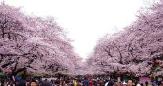 350:「桜といえば上野公園!こんなダイナミックな桜はなかなか見られません。」@上野恩賜公園