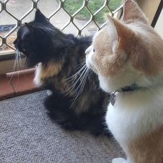 Fifi and Belle's hobbies include bird watching and long days on the couch.  #catsitting #suzspetservices