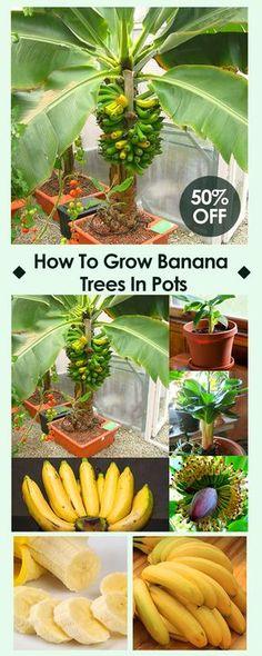 What to grow in the spring? -- Egrow 200Pcs Graden Banana Seeds Outdoor Dwarf Fruit Trees Banana Milk Taste Perennial Potted Fruit#newchic#garden#spring