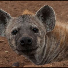 A quizzical Hyena in the Kruger National Park. Kruger National Park, National Parks, Wildlife Safari, Game Reserve, Hyena, Brown Bear, Photography, Animals, Photograph