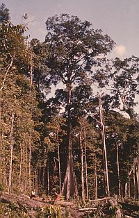 Brazilian Tropical Rain Forest at Jari. Image credit: Ian Baillie