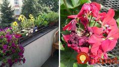 Škodcovia na balkónových rastlinách? Takto ich môžete poraziť aj bez chémie!