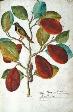 John Tradescant the elder. The Imperyall Plum. August 22, 1622.  Het kleurgebruik van botanische tekeningen uit deze periode hebben mij altijd al gefascineerd. Voornamelijk vanwege de vergrijsde kleurtinten en het perkamentachtige achtergrondpapier.