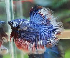 IMPORTED-HM-Young-Fancy-Dragon-Male-Betta-Michael