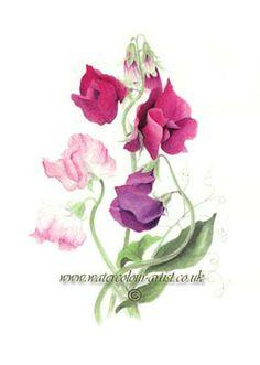 sweet pea water color botanical. watercolour-artist.co.uk