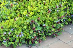 Plumbego for ground cover. Chokes out weeds. Zones 5-9