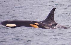 Waaaaaah! :-) New calf in J Pod! Most likely. J52. @James Mead Maya